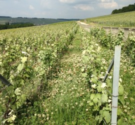 Organic Champagne vineyard
